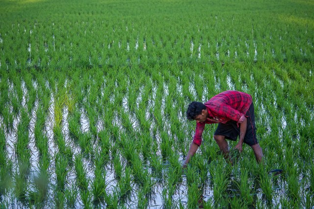 A Farmer working in the Paddy Field