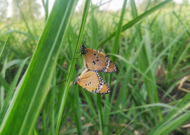 Butterflies on green grass