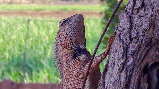 Garden lizard on a tree bark