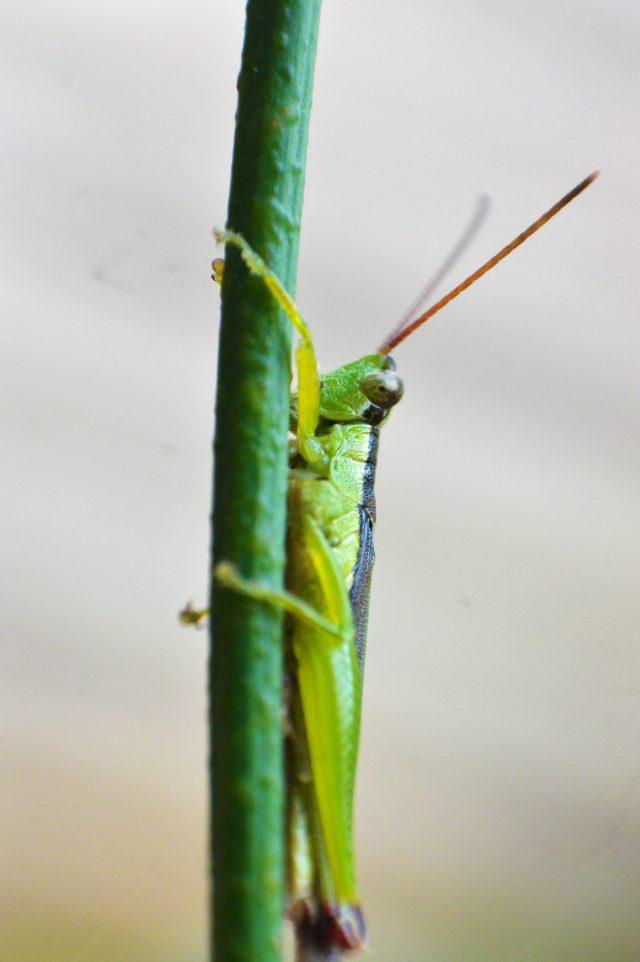 Grasshopper on twig