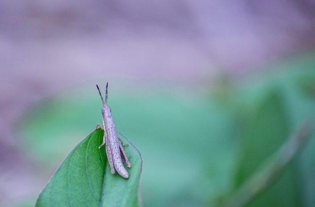 Grasshopper sitting on the Leaf