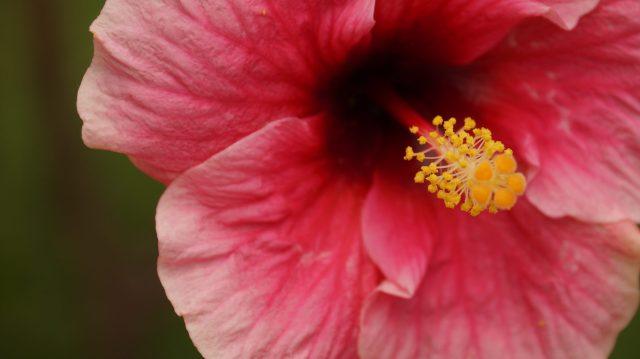 Pistil of Hibiscus Flower