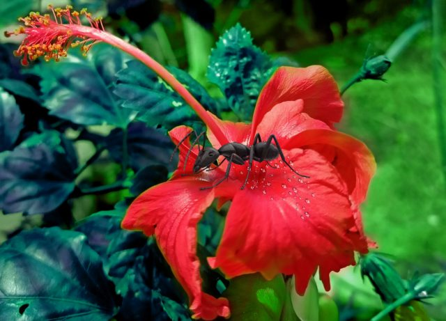 An ant on Hibiscus flower