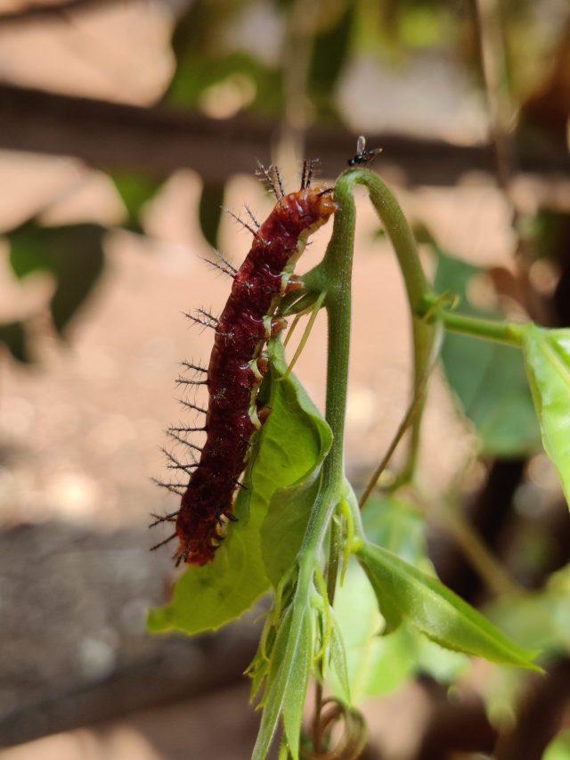 Caterpillar bug on the plant