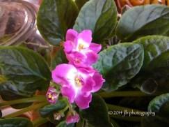 Violets blooming inside