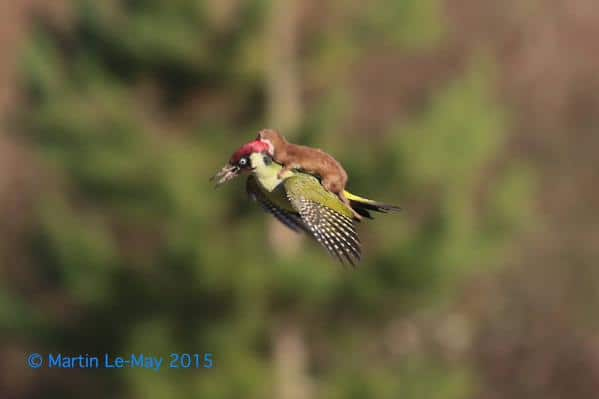 Weasel Rides Green Woodpecker ~ Photo by: Martin Le-May