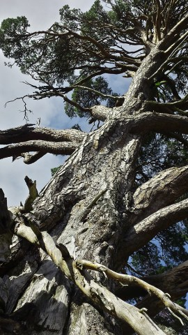 glenmore pine