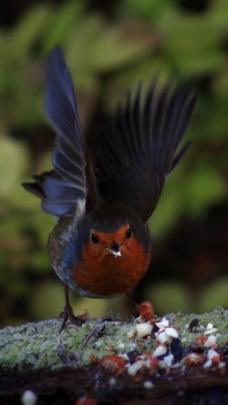 robin-flight