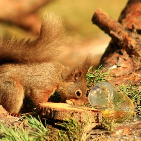 glen moray squirrel