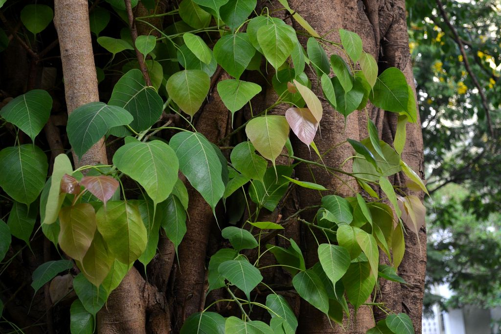 New leaves on a Peepal tree