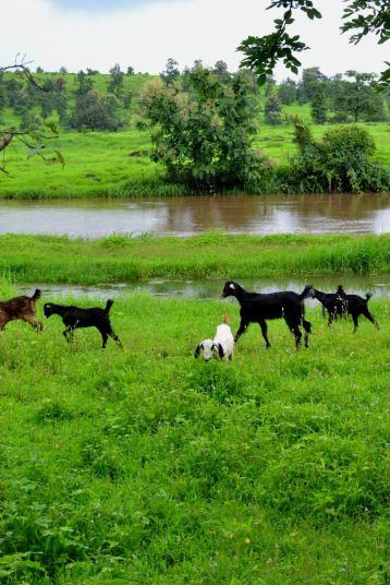 Goats stroll in Khardi