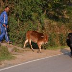 Indian cows and their master
