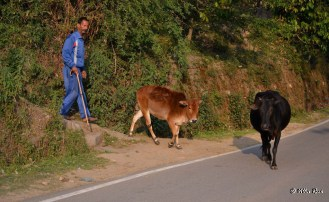 Cows and their owner in Kausani