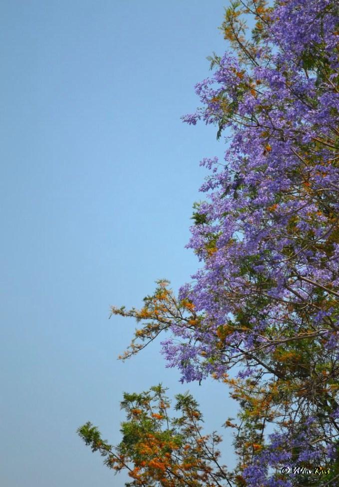 Jacaranda tree bearing purple flowers