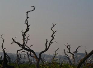 Mangroves at Sewri