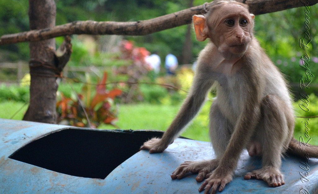 A baby monkey at Borivali National Park looks for food in a garbage can