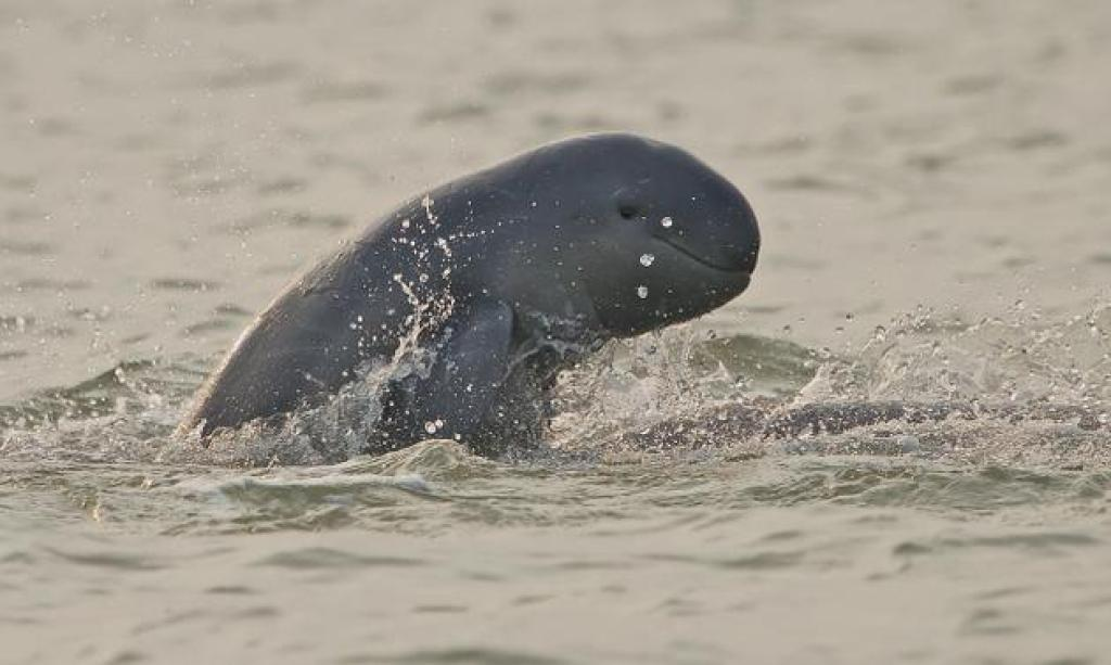Irrawaddy Dolphin. Photo courtesy - The Hindu