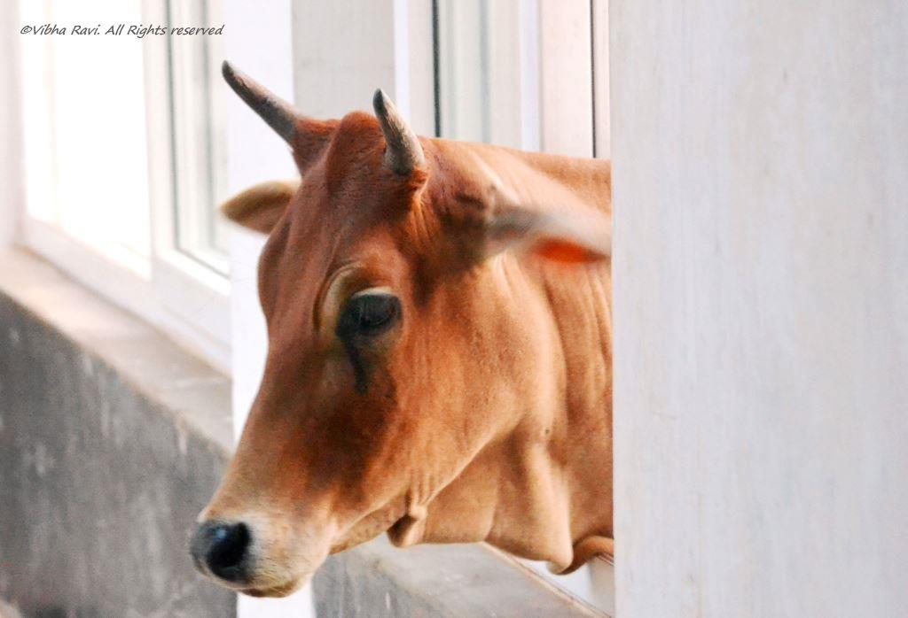 A cow peeps in through a window