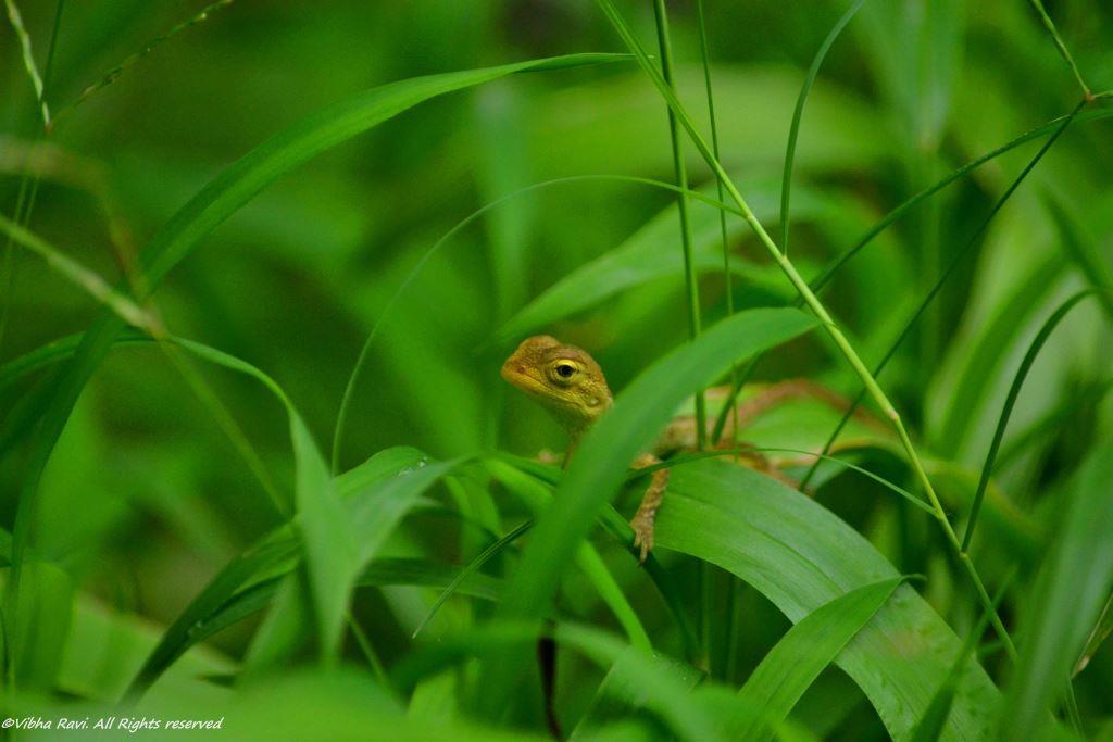 Oriental Garden Lizard juvenile in India