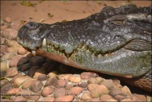 Indian river crocodile
