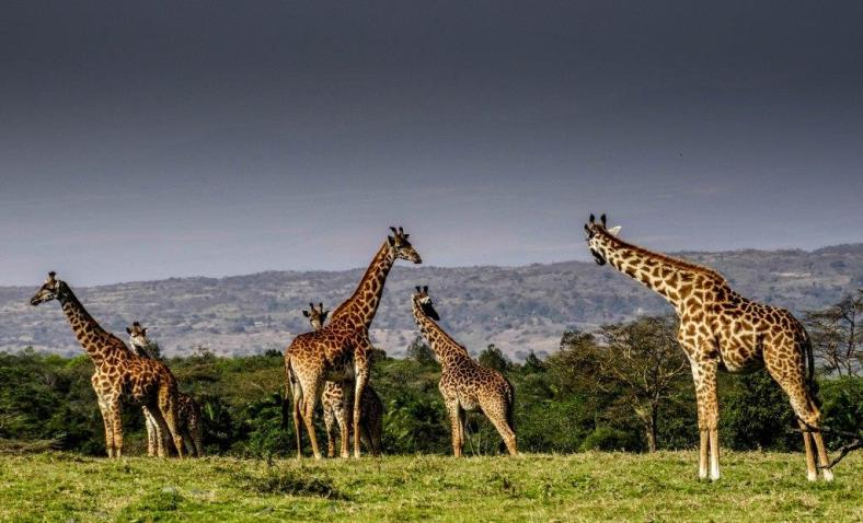 Giraffes, the tallest animals on land, seem like an integral part of the East African landscape