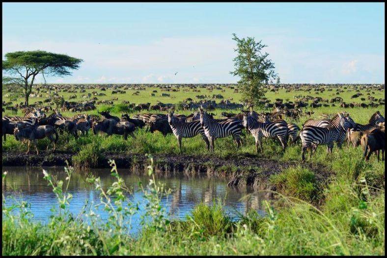 Zebras also migrate across Africa
