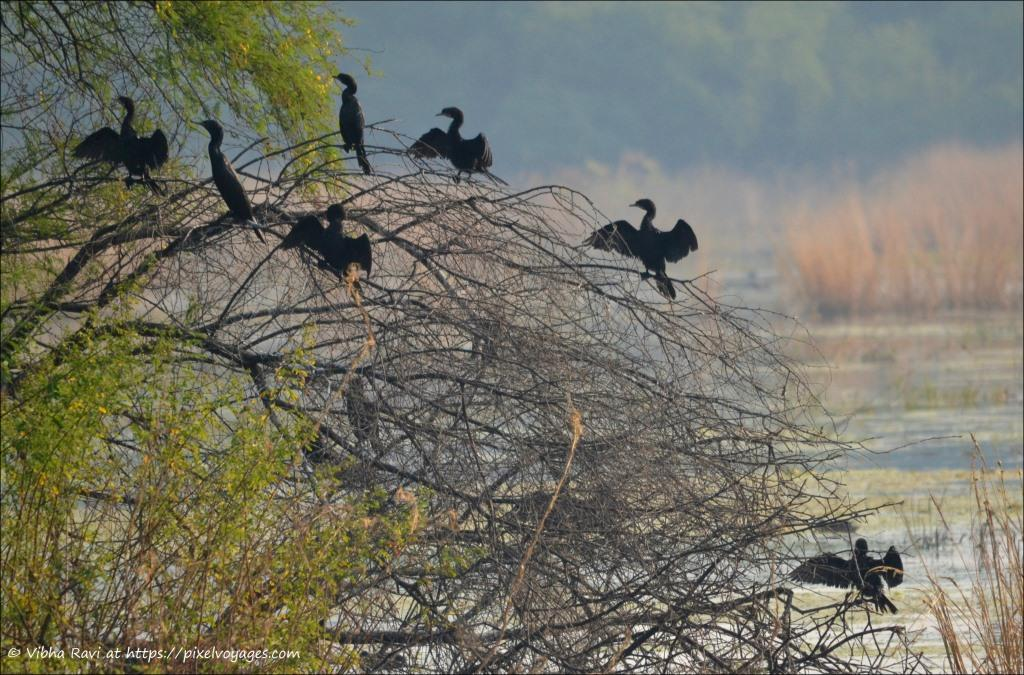 Little Cormorants in Bharatpur