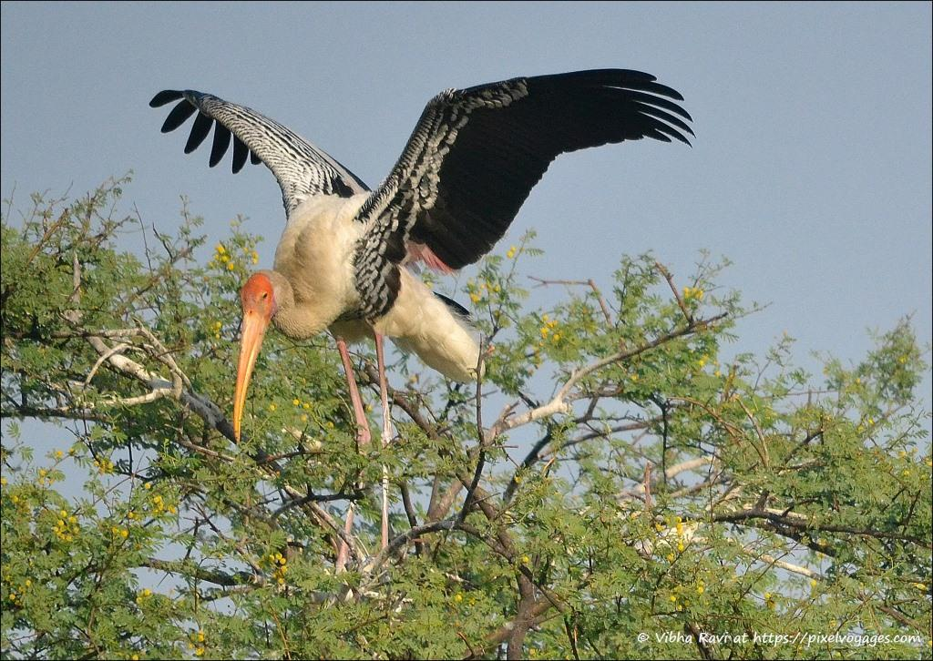 Adult Painted Stork