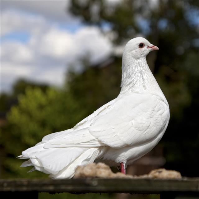 White Dove Perched On A Rail