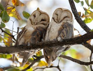 Barn owls on tree