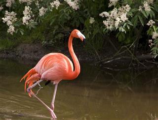 Flamingo with reflection