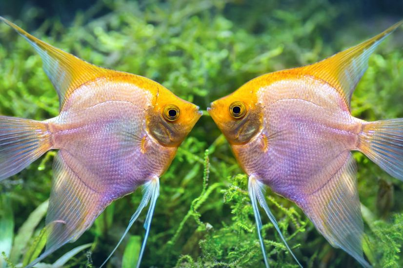 Habitat of Freshwater Angelfish