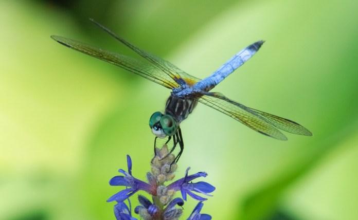 Image result for Dragonflies habitat