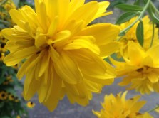 Rudbeckia laciniata 'Goldball' - pixieperennials@gmail.com