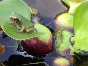 Frog pond - pixieperennials@gmail.com