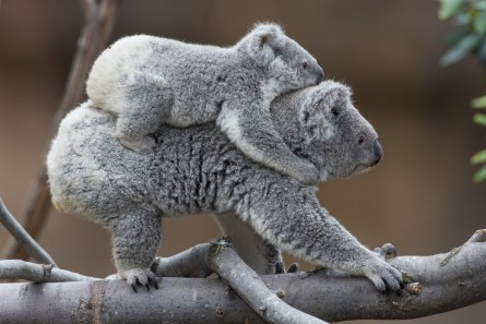 Koalas at San Diego Zoo