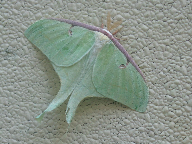 Bobs Luna Moth