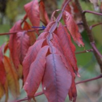 Fall revisited, and a bit more on Winged Sumac