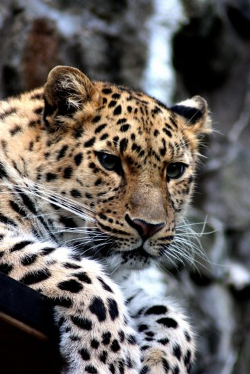 Free Picture Leopard Wild Cat Animal Animal