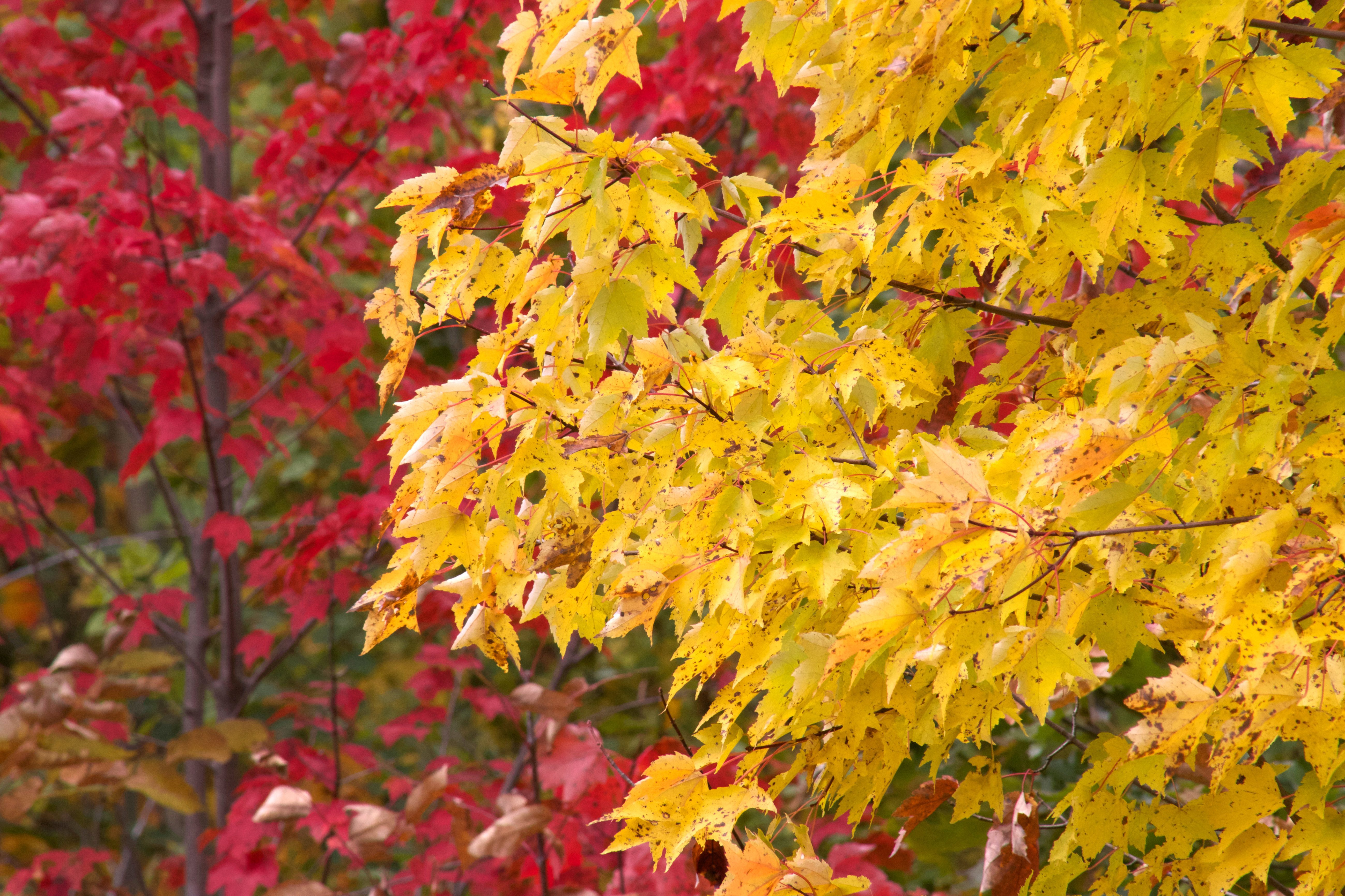 Free Picture Autumn Leaves Yellowish Leaves Red Trees