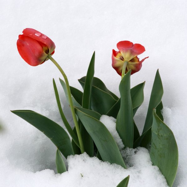 Free picture  tulips flowers  snow tulips flowers  snow