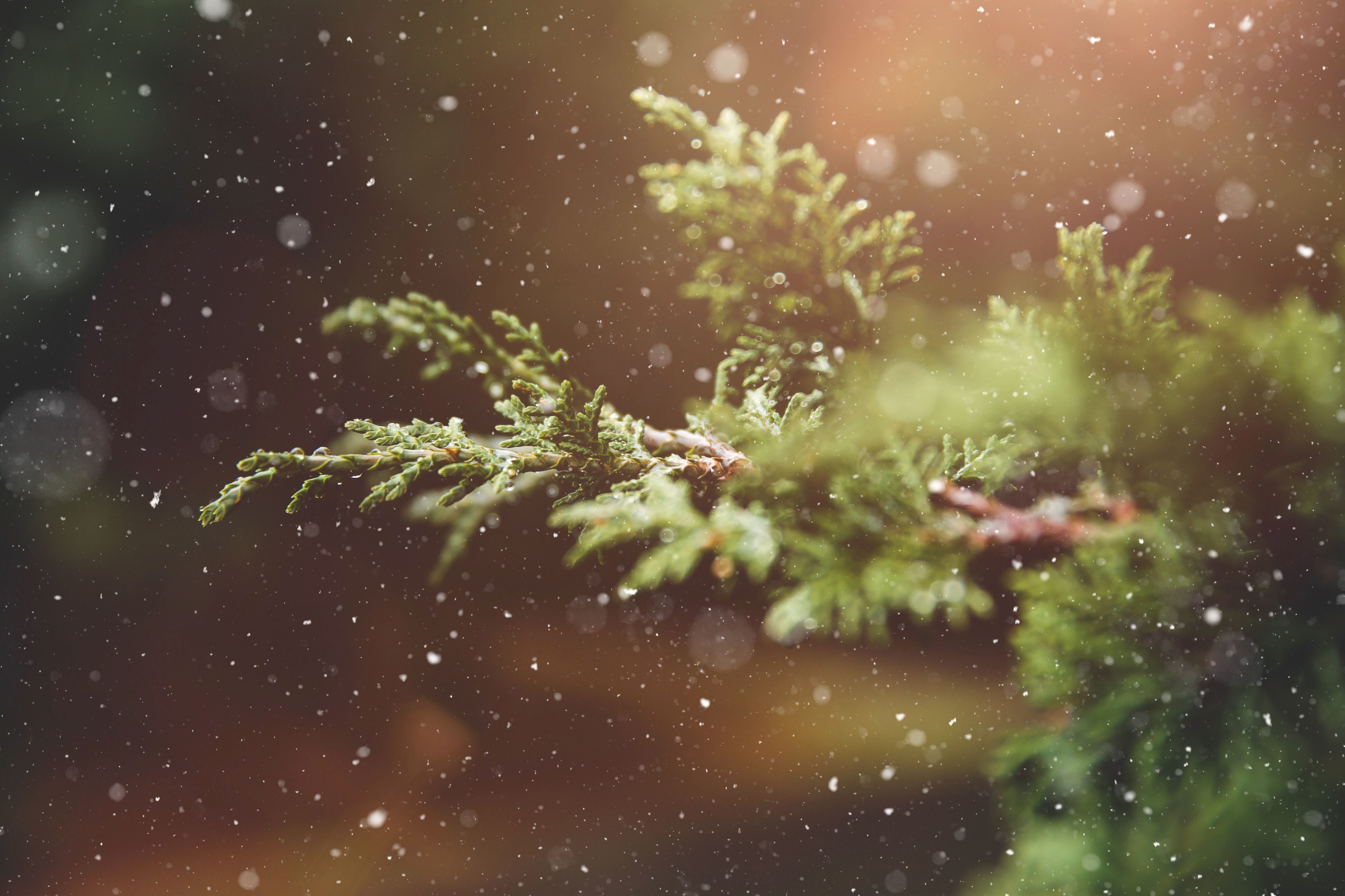 Free Picture Snowflakes Spruce Tree Winter Plant Snow