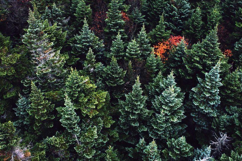 Foto gratis: Alberi, legno, colore, conifere, ambiente, sempreverde, abete, alberi, verde
