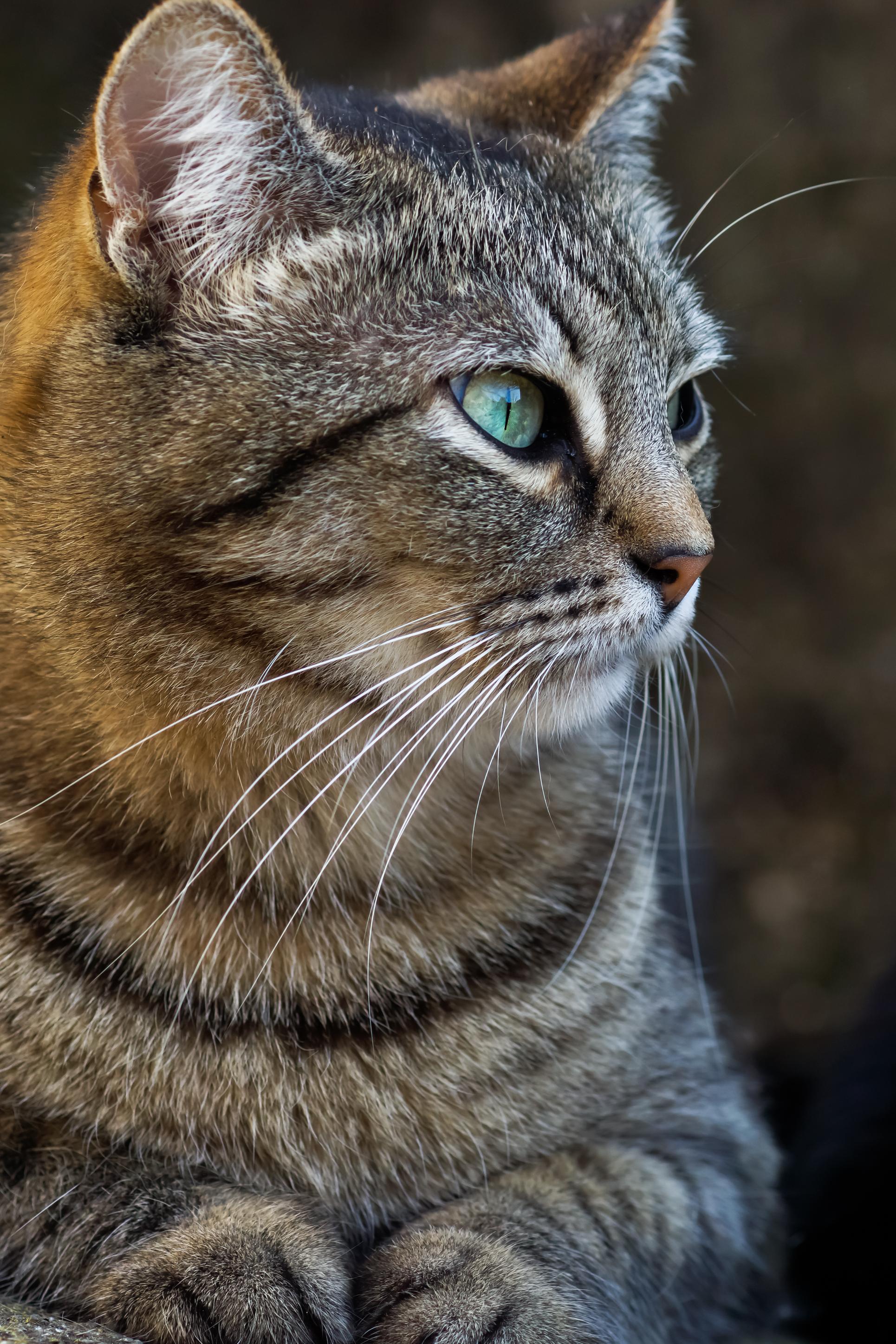 Free Picture Gray Cat Animal Fur Cute Pet Portrait