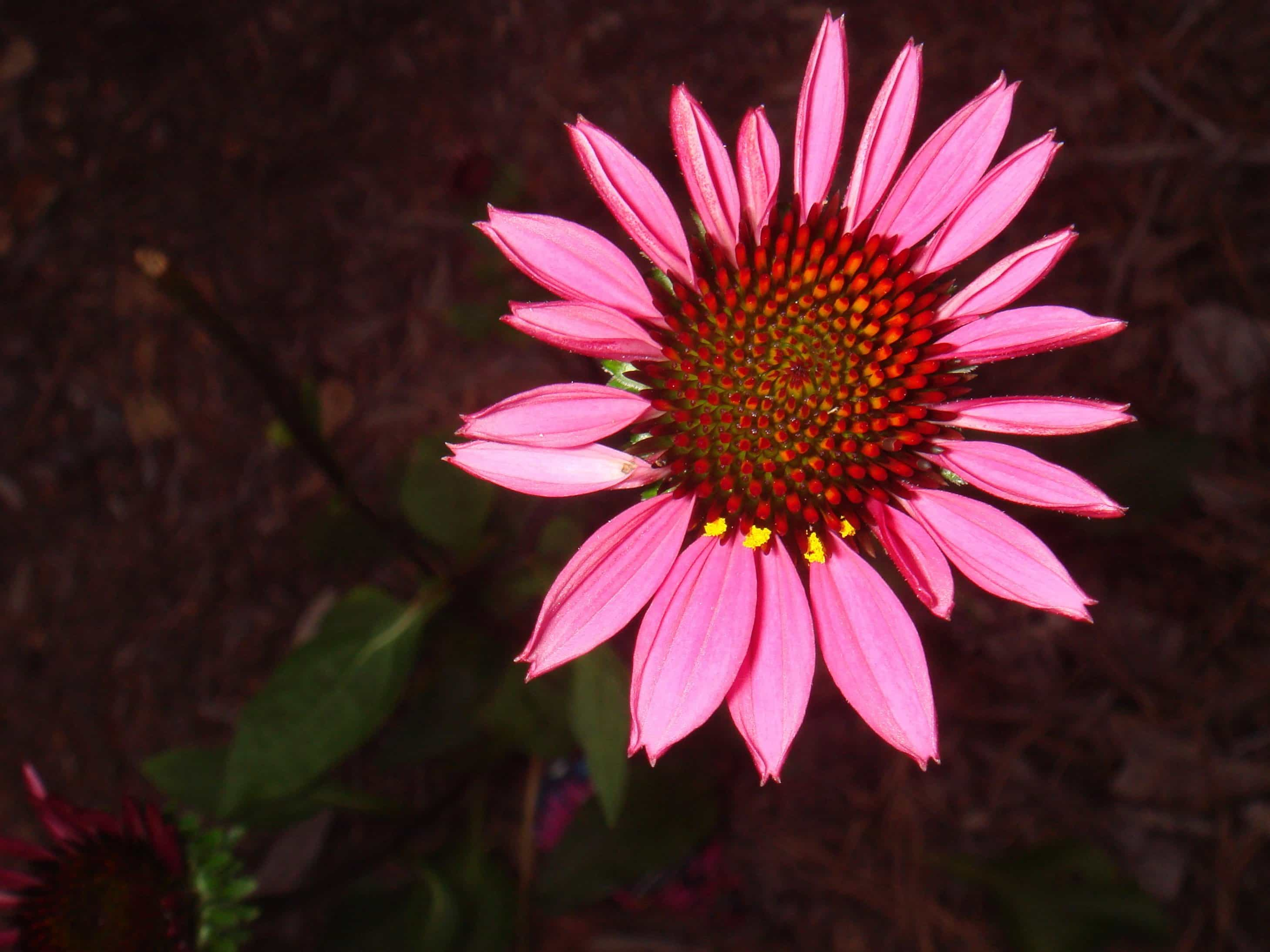 Free Picture Summer Flower Nature Wildflower Petal