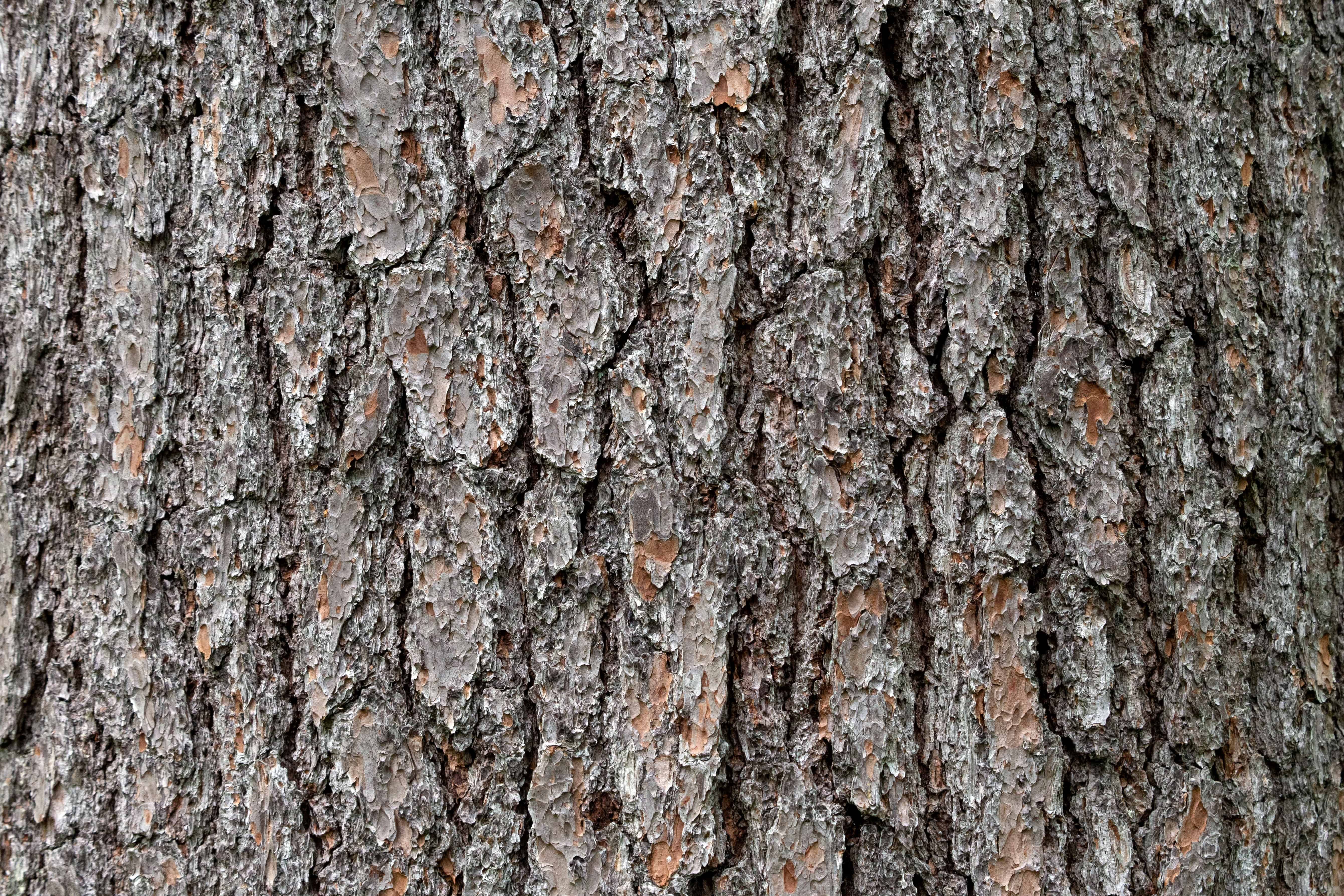 Free Picture Pine Wood Dry Tree Texture Oak Nature