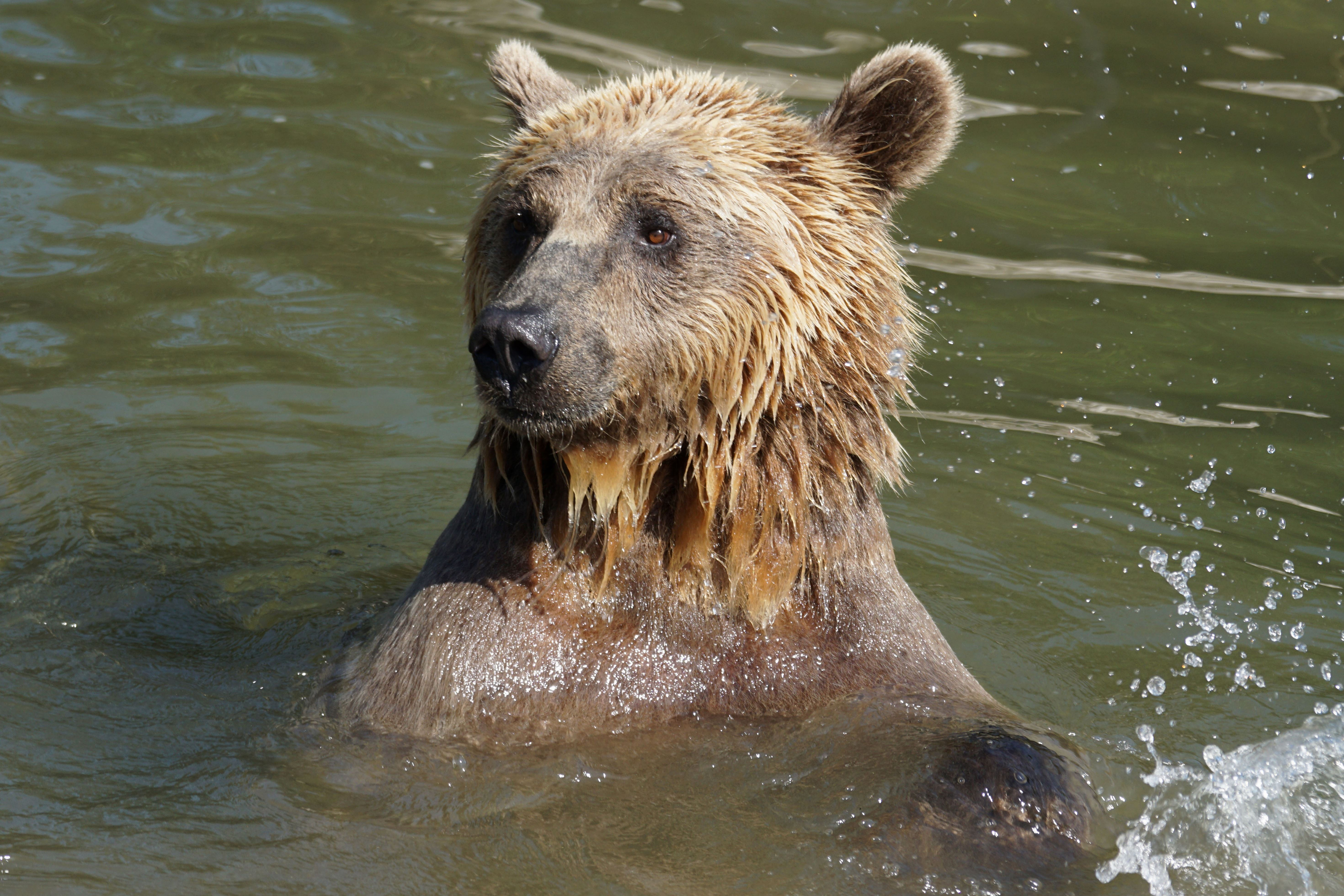 Free Picture Brown Bear Grizzly Wildlife Water Nature