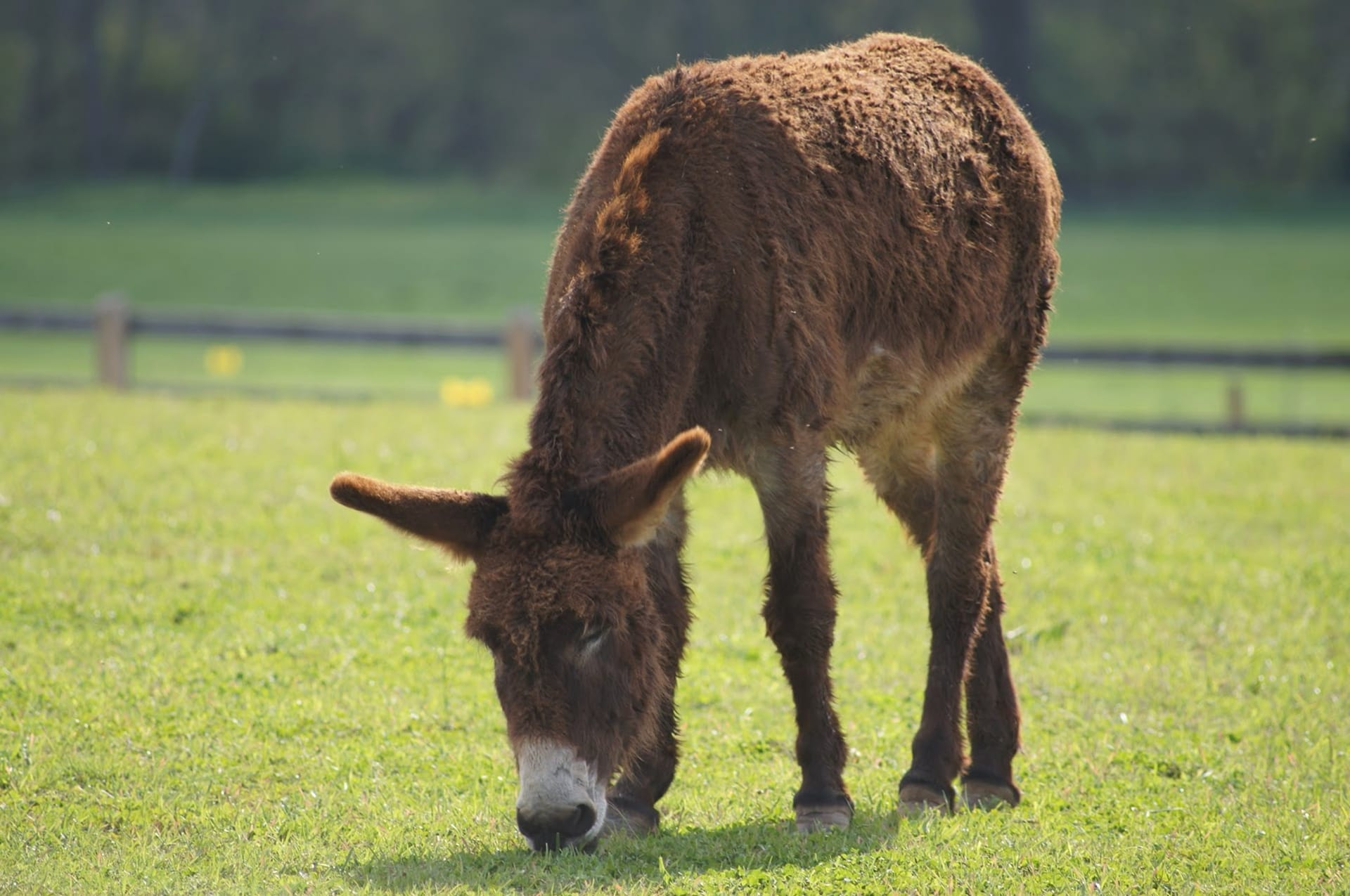 Free Picture Donkey Grazing Mule Animal Grass Farm Livestock Field