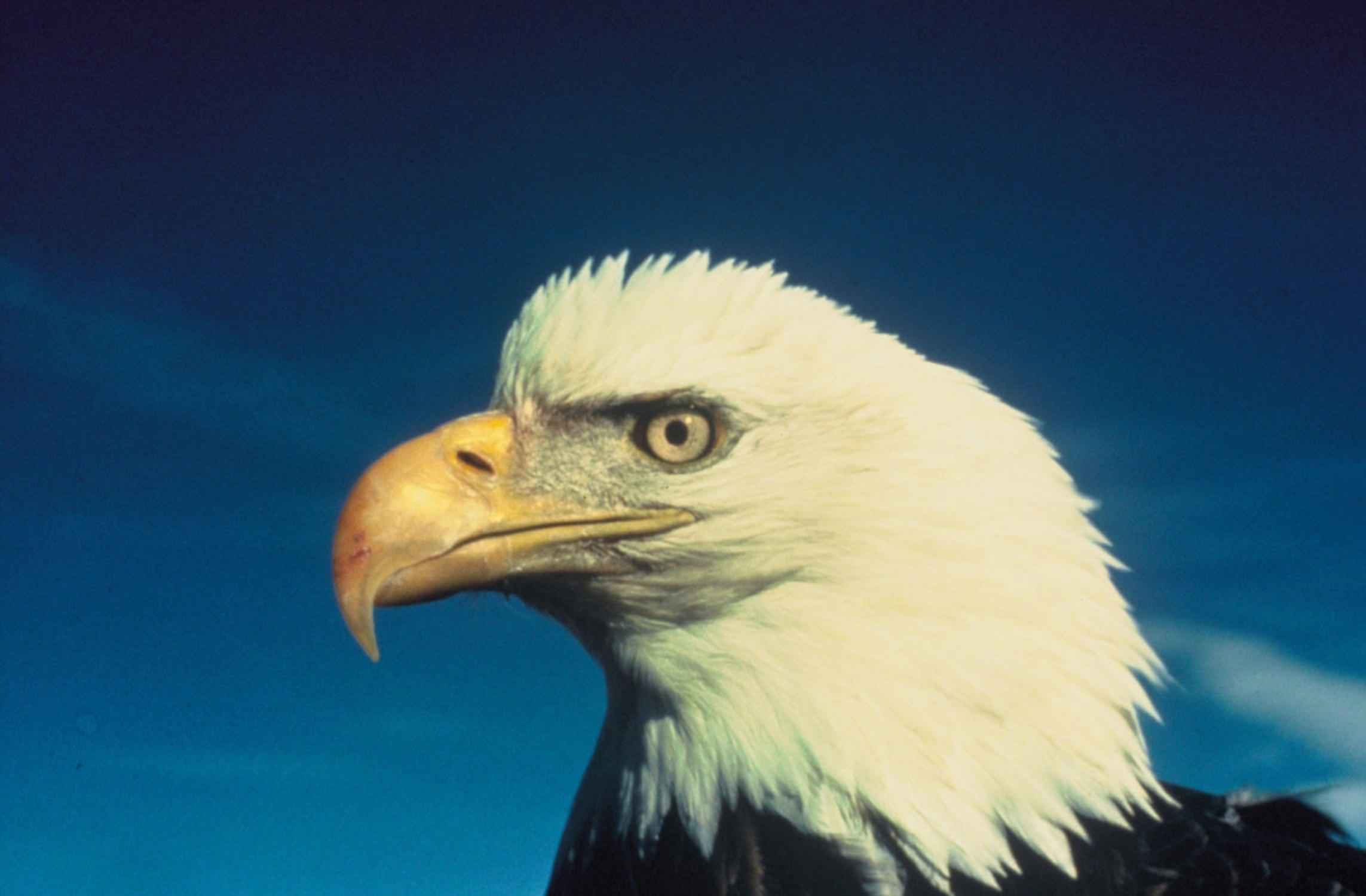 Free Picture Bald Eagle Face Bird