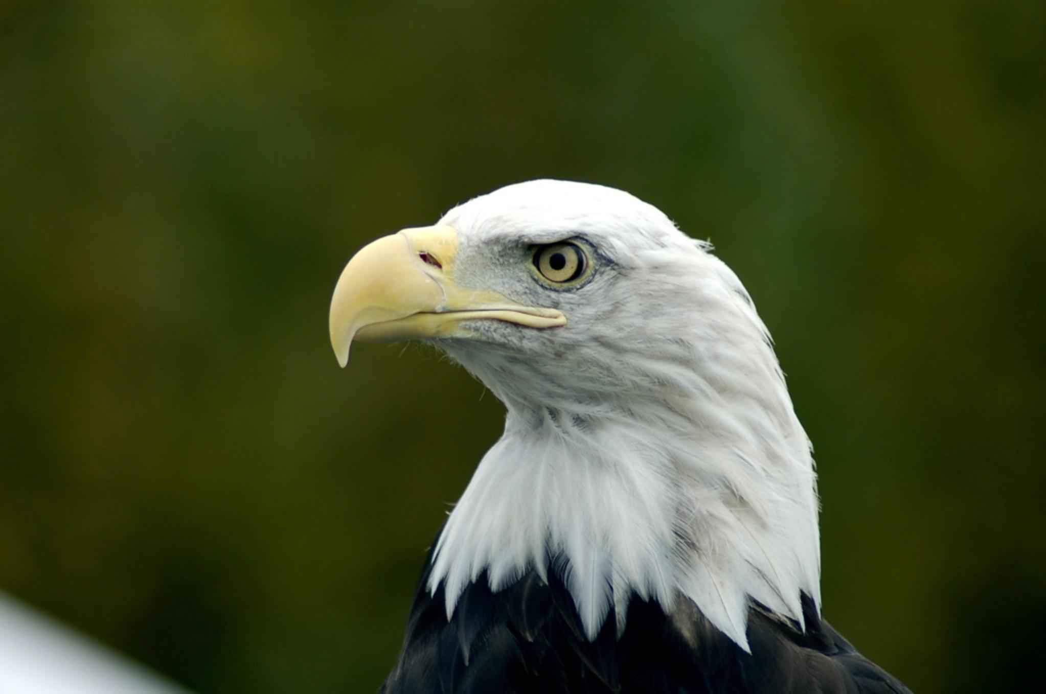 Free Picture Bald Eagle Head Haliaeetus Leucocephalus